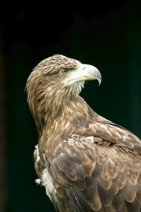 Wester Ross Sea Eagle